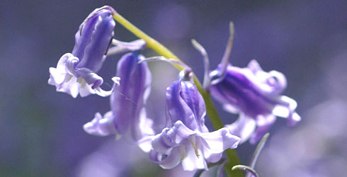 Should the native UK bluebell, Hyacinthoides non-scripta, be an environmental mascot for Britain?