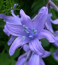 Spanish bluebell with its blue pollen and open bell-shaped flower
