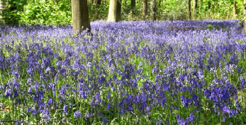 A field of native UK bluebells, Hyacinthoides non-scripta