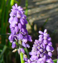 Bluebell-like plant called grape-hyacinth, Muscari armeniacum