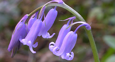 The familiar native bluebell Hyacynthoides non-scripta, one of two bluebell species in the UK