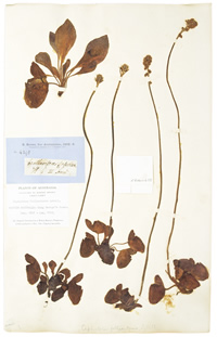 Plant specimen collected by Robert Brown in 1801 - one of the great plant hunters