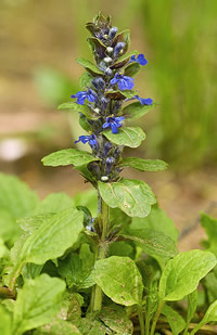 A bugle plant. This low-growing flower, with others like violet and primrose, attractive to bee-flie