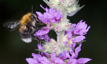 Tree bumblebee, Bombus hypnorum, on purple loosestrife