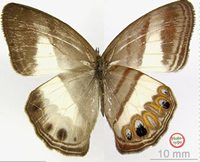 Magdalena Valley ringlet butterfly identified by Blanca Huertas in 2009 is in the same genus