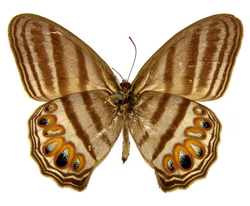 The newly identified zebra-like ringlet butterfly from Peru was uncovered in the Museum collections.