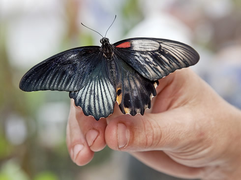 This rare dual-sex butterfly hatched at the Museum's Sensational Butterflies exhibition in July 2011