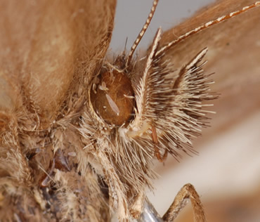 The hairy mouthparts, or 'moustache' helped Huertas identify this new species of butterfly