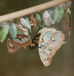 Butterflies emerge from their pupa, or chrysalis