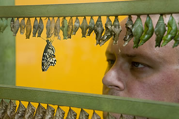 Live butterflies are released in preparation for Butterfly Jungle exhibition opening 1 May. Butterfl