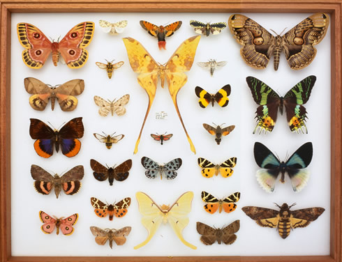 A tray showing the variety of butterfly species, at the Natural History Museum.