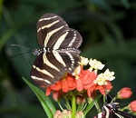 The zebra butterfly is a species that likes to fly in low light