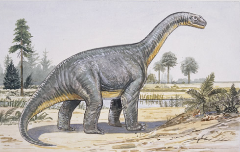 Drawing of Camarasaurus, the huge sauropod dinosaur. New research suggests it migrated seasonally ac