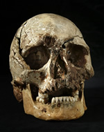 Skull of an ancient Briton from Cheddar Gorge that is about 10,000 years old.
