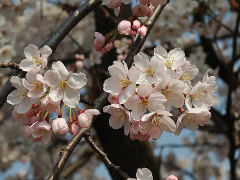 Japanese Mountain cherry tree, Prunus serrulata, one of the 9 cherry tree species in the Cherry tree