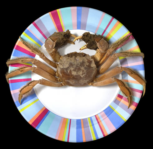 Chinese mitten crabs can grow to the size of a dinner plate and have furry front claws.