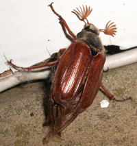 A cockchafer with its distinctive orange fan-like antennae