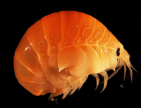 An amphipod (shrimp-like creature) found near Elephant Island, Antarctic Peninsula.