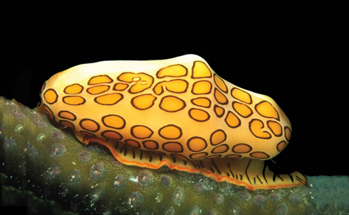 Flamingo tongue snail, is one of thousands of new species uncovered as part of the first CoML