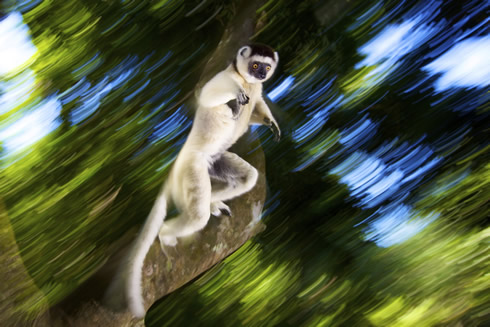 Heinrich van den Berg's photo leaping lemur
