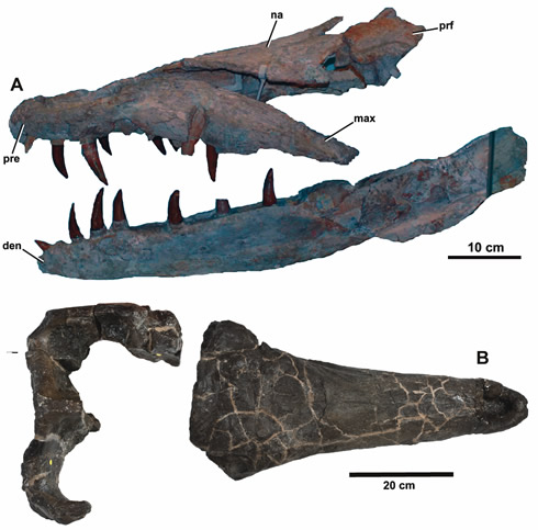Fossil skulls of crocodylians Dakosaurus maximus (A) and Plesiosuchus manselii (B).