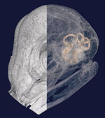 CT scan image of barn owl skull showing inner ear, coloured orange