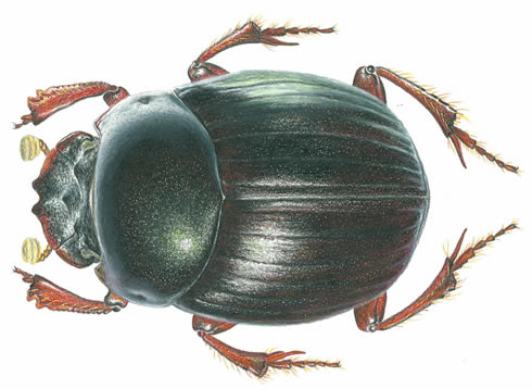 Illustration of the dung beetle named Canthidium darwini, discovered on a Museum-led expedition