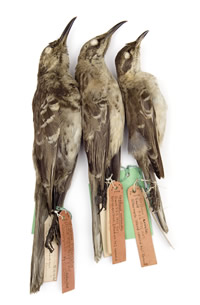 Three mockingbirds Charles Darwin collected from the Galapagos Islands in 1835