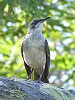 San Cristobal mockingbird © Zoological Museum of the University of Zurich