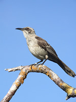 Mockingbird, San Cristobal © Zoological Museum of the University of Zurich
