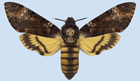 The death's-head hawkmoth has a skull-shaped markings and unusual hopping and shrugging behaviour.