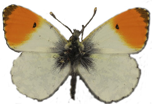 orange-tip-butterfly