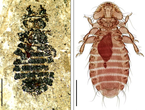 44-million-year-old fossil louse species, Megamenopon rasnitsyni, from Germany on left