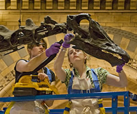 Dippy gets a clean. It took 2 staff 2 days to clean its 292 bones.