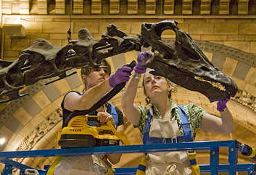 Museum's Trista Quenzer and Helen Weir give the much loved Diplodocus its annual spring clean