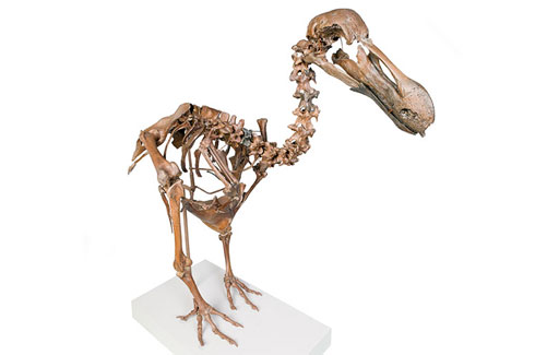 Rare dodo skeleton constructed from bones around 1,000 years old.