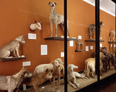 The 88 domestic dogs and hundreds of other specimens are being cleaned at the Museum at Tring.
