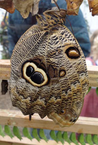 Close-up of the double-eye pattern on the owl butterfly