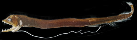 Dragonfish Eustomias with its striking barbel-one of the dragonfish genera with vertebrae missing