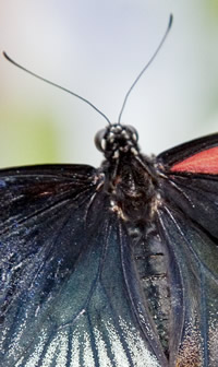 The butterfly body shows the darker male colouring on the left and lighter female colouring on the r