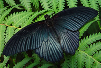 The male great mormon butterfly, Papilio memnon.