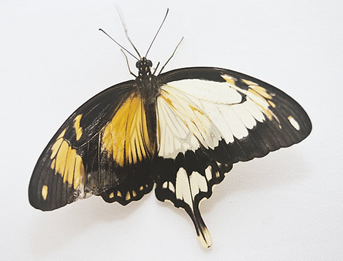 African mocker swallowtail butterfly, Papilio dardanus, at the Natural History Museum end July 2011