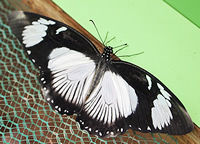 This female mocker swallowtail is the usual black and white form