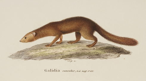 Colour illustration of brown-tailed vontsira, close relative of new species Durrell's vontsira