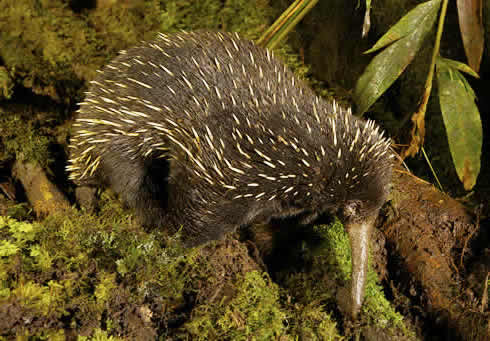 Long-beaked echidna in New Guinea. It was thought to have gone extinct thousands of years ago in Aus