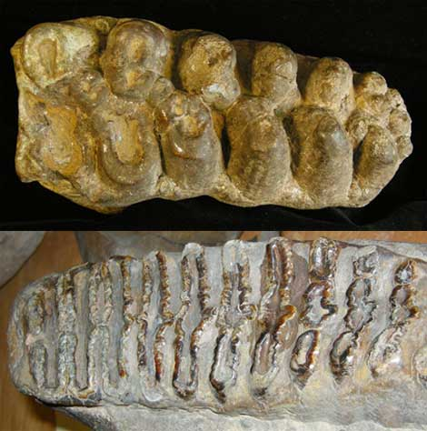 Ancient proboscidean molar (top) and that of fossil species (below) show different diet adaptations