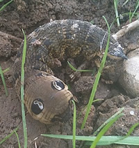 The eye spots on an elephant hawkmoth caterpillar can be used to deter predators