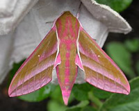 The adult elephant hawkmoth with its striking pink and green colours