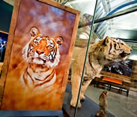 Tiger display in the Museum's Extinction exhibition open 8 Feb -8 Sept 2013.