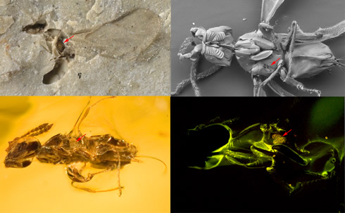 4 images of fig wasps showing the 34-million-year-old fig wasp fossil at top left (x200)
